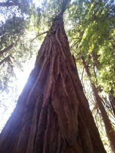 Old growth redwood muir woods