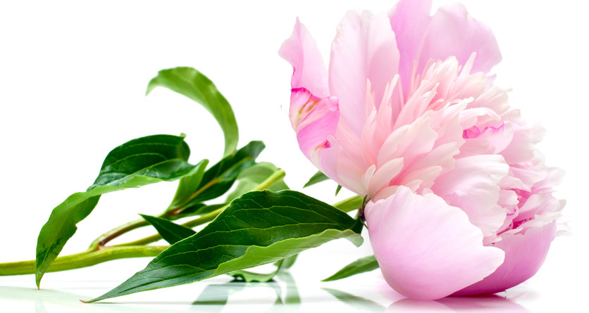 White Peony – Women's Gentle Pain Relief