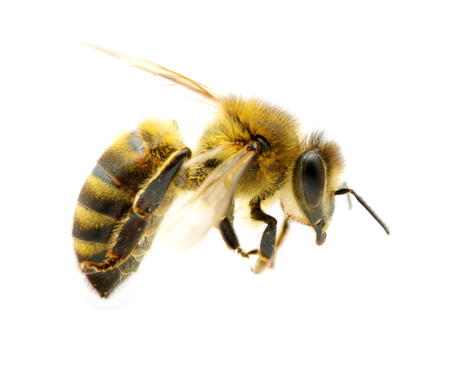 Bee propolis has immune-fighting properties for scratchy sore throats.